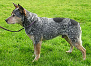 Blue Australian Cattle Dog with docked tail