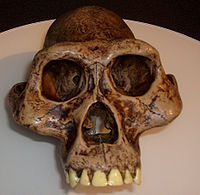 Australopithecus afarensis skull reconstruction, displayed at Museum of Man, San Diego, California.