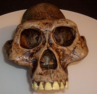 Australopithecus - Australopithecus africanus reconstruction, San Diego Museum of Man