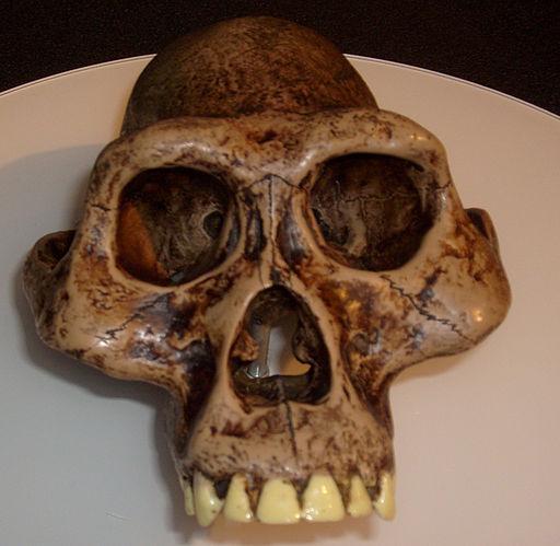 Australopithecusafarensis reconstruction