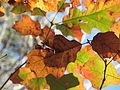 Autumn Leaves Umstead SP NC 3540 (4108609273).jpg