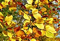 Autumn leaves at Minnowburn - geograph.org.uk - 1028388.jpg