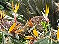 Ave del paraíso (Strelitzia reginae) (14177062657).jpg