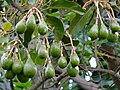 Avocados (Persea americana) (18159574242).jpg