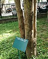 Azadirachta indica - Neem tree- Arusha Botanical Garden 1.jpg