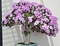 Azalea Rhododendron Bonsai.JPG