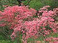 Azaleas on Mount Guifengshan in Macheng City, Huanggang, Hubei 21.jpeg