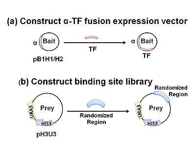 Figure 2 The Bacteria One Hybrid System Requires Two Customized Plasmids A Bait Vector Pb1h1 Or Pb1h2 Which Expresses Dna Binding Domain As