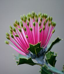 closeup of bloom in late bud; the individual yellow-tipped pink flowers resembling matchsticks