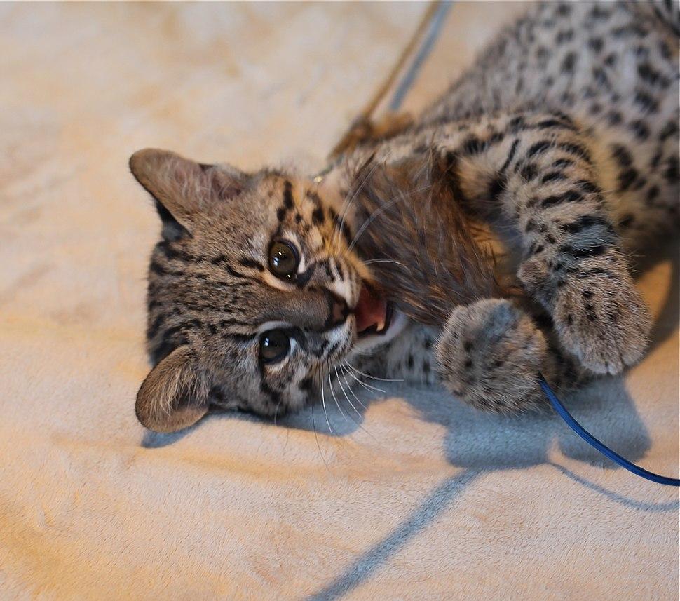 Baby Geoffrey's Cat