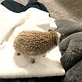 Baby Hedgehog Curious.jpg