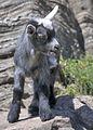 Baby goat (5301088267).jpg