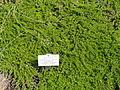Baccharis magellanica - Palmengarten Frankfurt - DSC01896.JPG