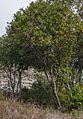 Badaia - Barranco de los Goros - Madroño 04.jpg
