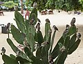 Balaclava Mauritius A-band-of-sparrows-sitting-on-a-prickly-pear-01.jpg