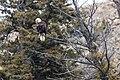 Bald Eagle looks for prey near Gardner Canyon (355eb85b-b08d-4db4-adfb-def962db5a22).jpg