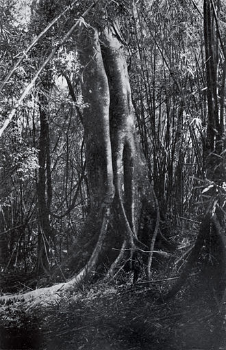 Balete tree - Balete tree from the forest of the Philippines in 1911