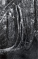 Balete from Forest of the Philippines plate8 part2.jpg