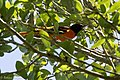 Baltimore Oriole (male) Smith Oaks High Island TX 2018-04-10 12-11-54 (27715901808).jpg