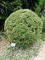 Bambusa multiplex - Kunming Botanical Garden - DSC03060.JPG