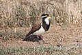 Banded Lapwing (Vanellus tricolor) (8079595415).jpg