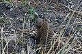 Banded mongoose, Tarangire National Park (5) (28679631135).jpg