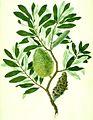 Banksia integrifolia watercolour from Banks' Florilegium (cropped).jpg