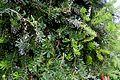 Banksia marginata in Tropengewächshäuser des Botanischen Gartens 02.jpg