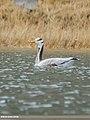 Bar-headed Goose (Anser indicus) (46804504011).jpg
