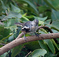 Bark with Immature Oriental Magpie Robin I IMG 7827.jpg
