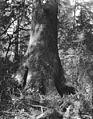 Base of a spruce tree on the Oregon coast (3491918327).jpg