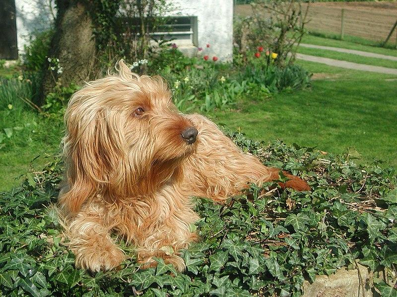Basset Fauve de Bretagne rarest dogs