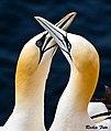 Basstölpel (Morus bassanus) auf Helgoland.jpg