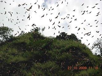 Wli waterfalls - Image: Bats at Wli Waterfall 2