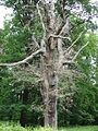 Baum NO 153, Naturdenkmal im Landkreis Harz.JPG