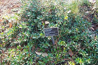 Arctostaphylos - Common bearberry Arctostaphylos uva-ursi
