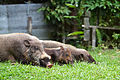 Bearded pigs Tanjung Puting National Park.jpg