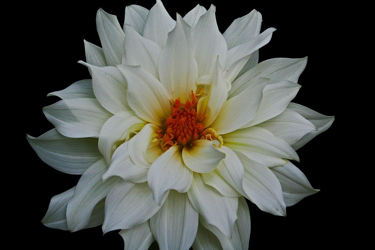 Filebeautiful White Flower West Virginia Forestwanderg