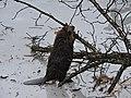 Beaver Preparing for Winter (be35aedc-3ca6-4b16-a729-552c7665d47a).JPG