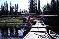 Beaver at Nimpo Lake, 1981 01.jpg