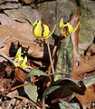 Bee on trout lily.jpg