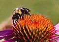 Bees foxfield (17274827293).jpg
