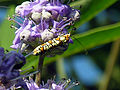Beetle on Butterfly Bush 31 May 05 (17191641).jpg