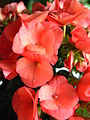 Begonia × hiemalis cv.03.JPG