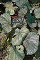 Begonia rex - Alipore - Kolkata 2013-02-10 4645.JPG