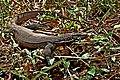 Bengal monitor (Varanus bengalensis) or common Indian monitor Lizard. (31620761921).jpg