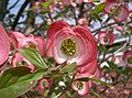 Benthamidia florida6.jpg
