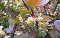 Berberis 'Rose Glow'.jpg