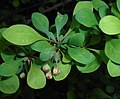 Berberis thunbergii Microphylla 2016-04-19 7564b.jpg