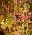 Berberis vulgaris in Jardin des Plantes de Toulouse.jpg